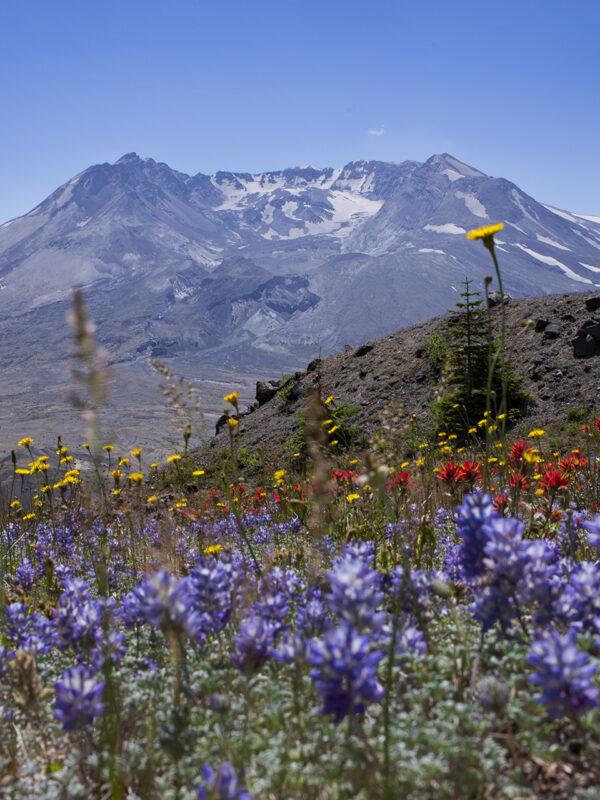 Mt St Helens | 匆匆四十载,火海变花海